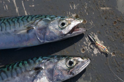 Mackerel on the fly, saltwater fly fishing UK