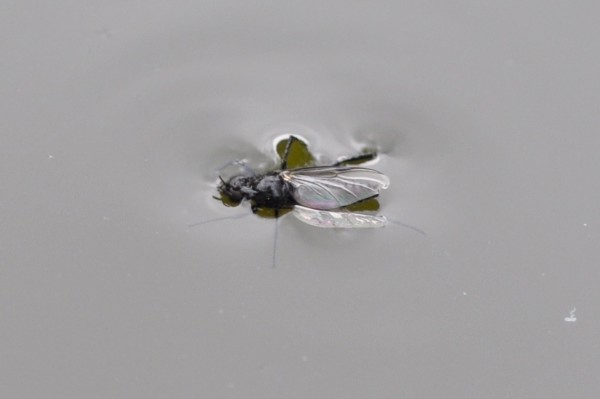 Hawthorn fly drowning