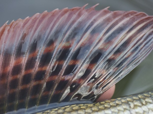 Grayling fin detail close up