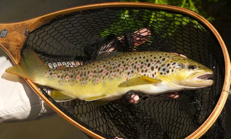 small river, big brown trout