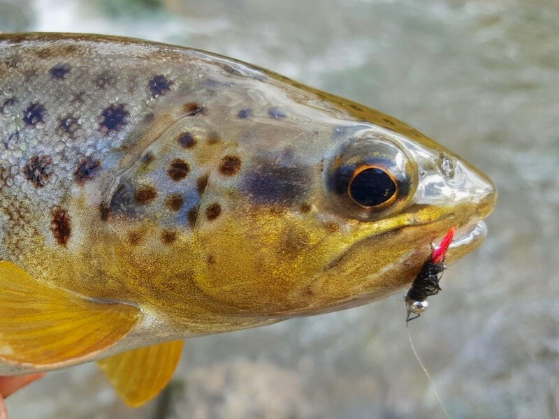 Jig Nymph trout